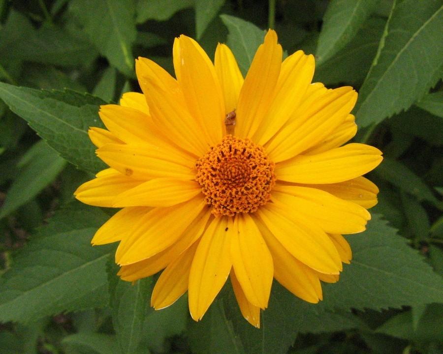 это редкое желтые садовые цветы картинки рецепт коврижки мультиварке