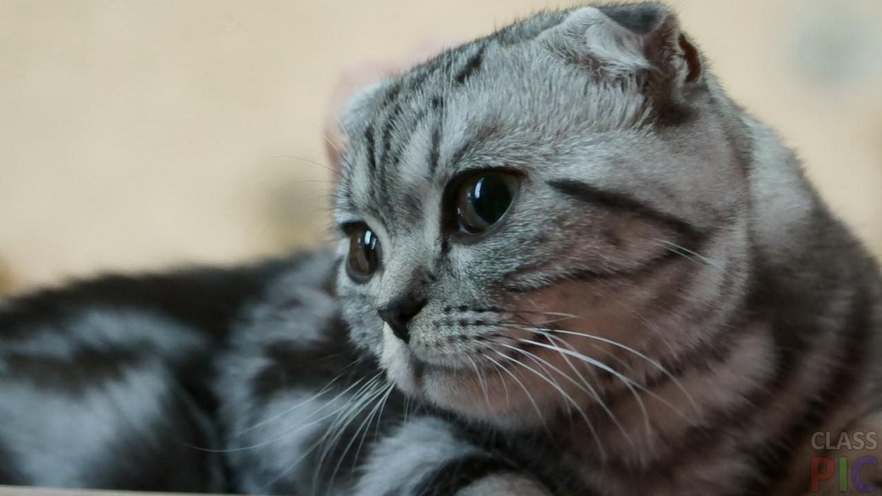 Шотландская кошка (27 фото)