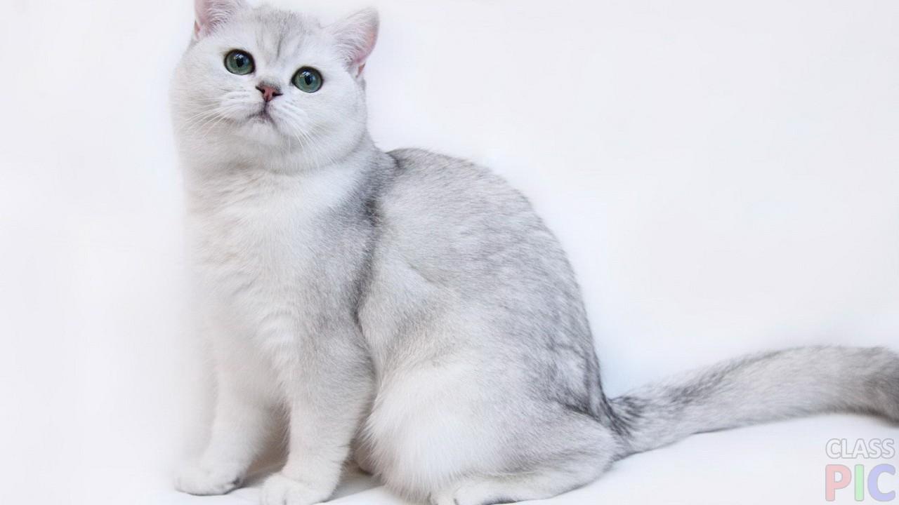 Британская кошка (27 фото)