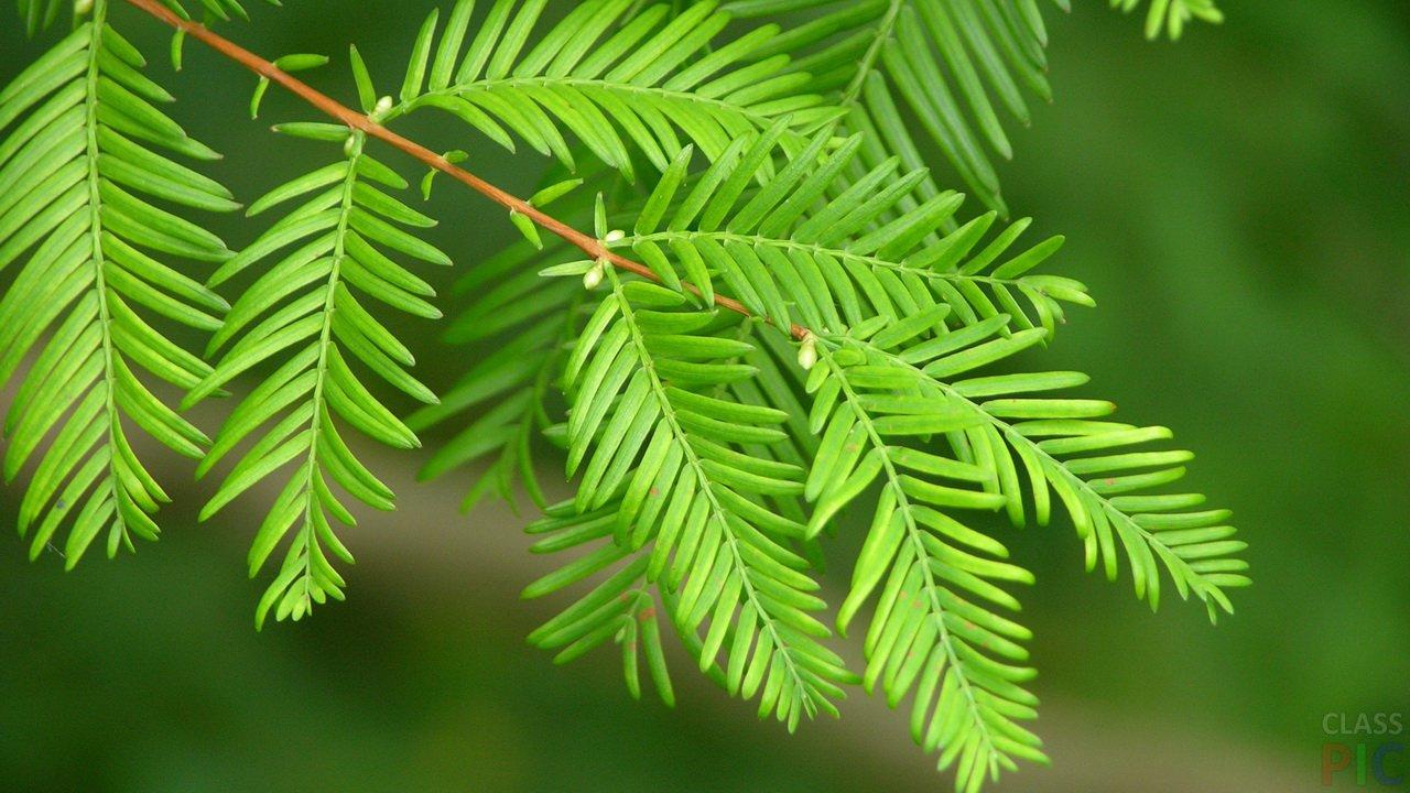 деревья с резными листьями