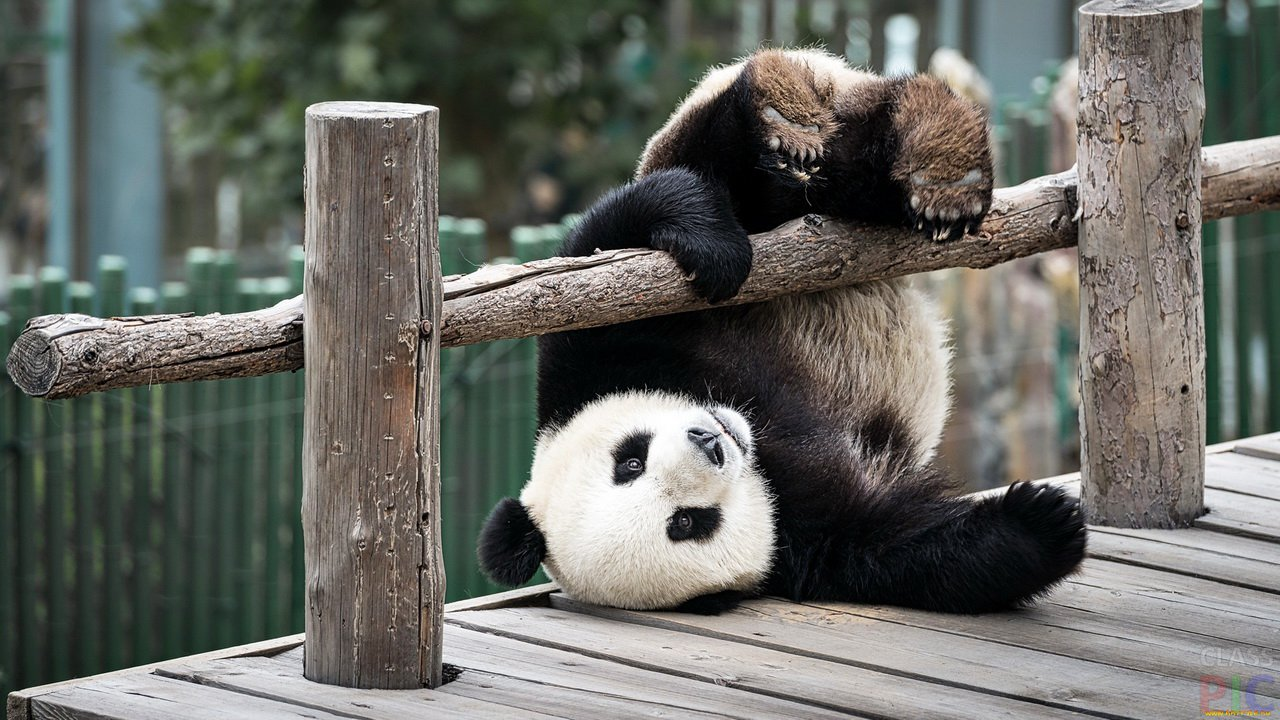 Панда (20 фото)