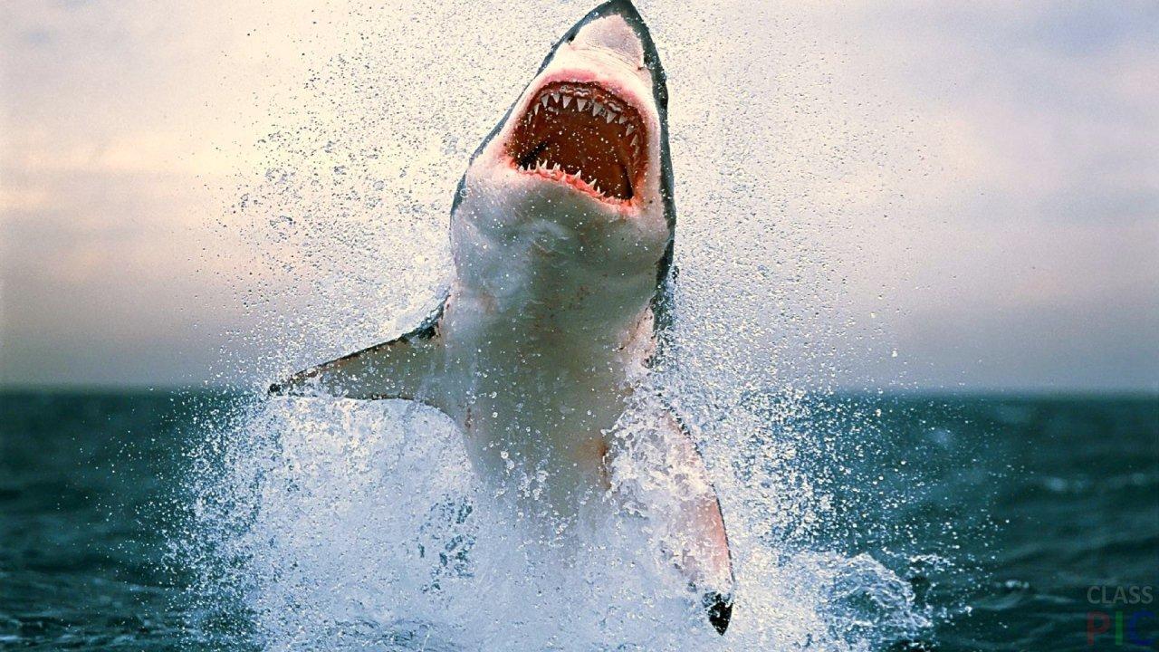 Акула (33 фото)