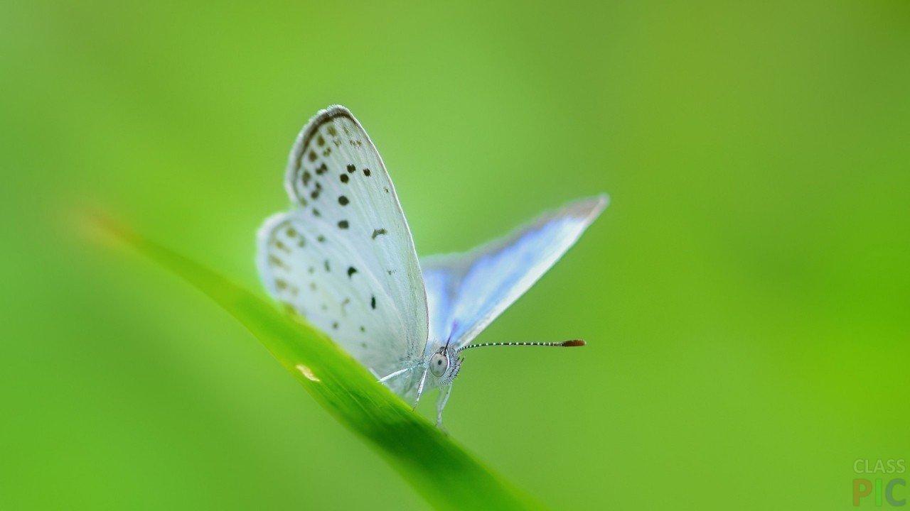 бабочка фото белая