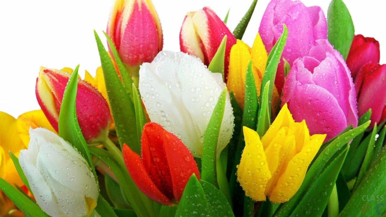 Тюльпаны (48 фото)