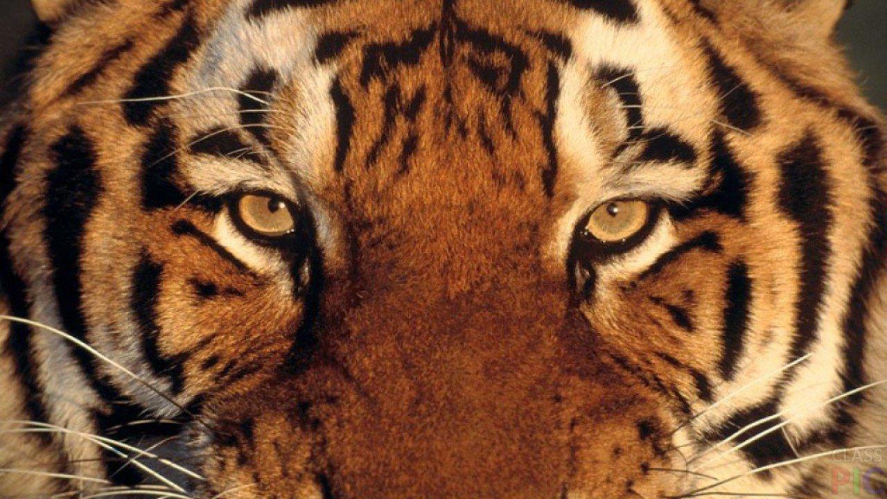 Тигр (50 фото)