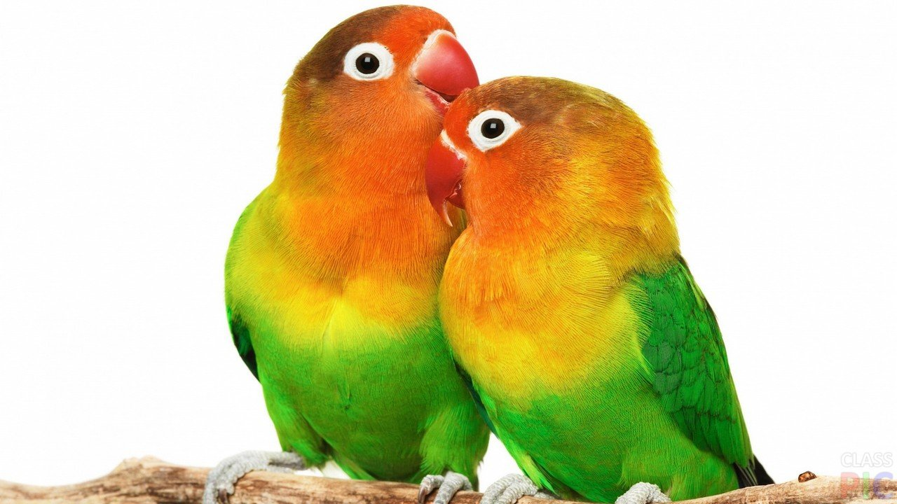 Попугаи (50 фото)