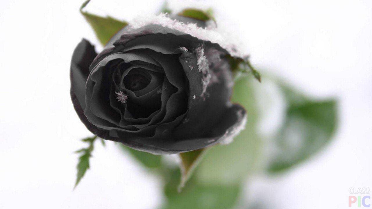 Картинки розы черные на снегу, днем сахарной косточки