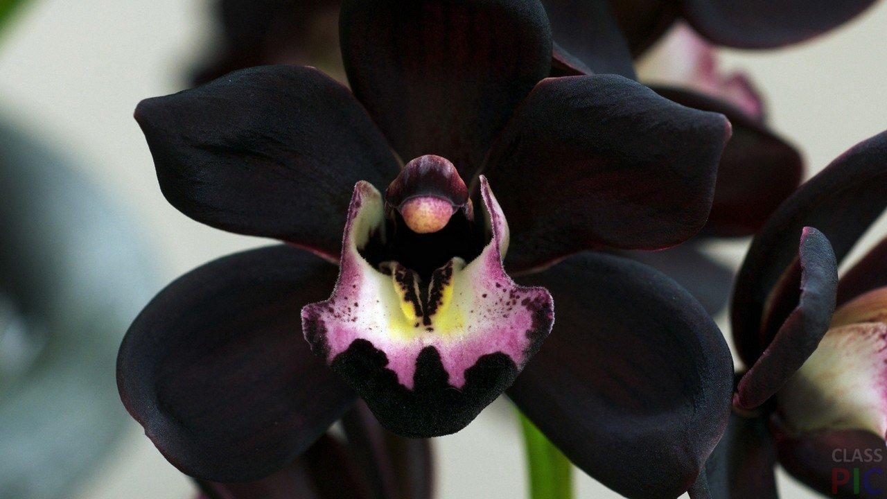 Фото цветов чёрного цвета