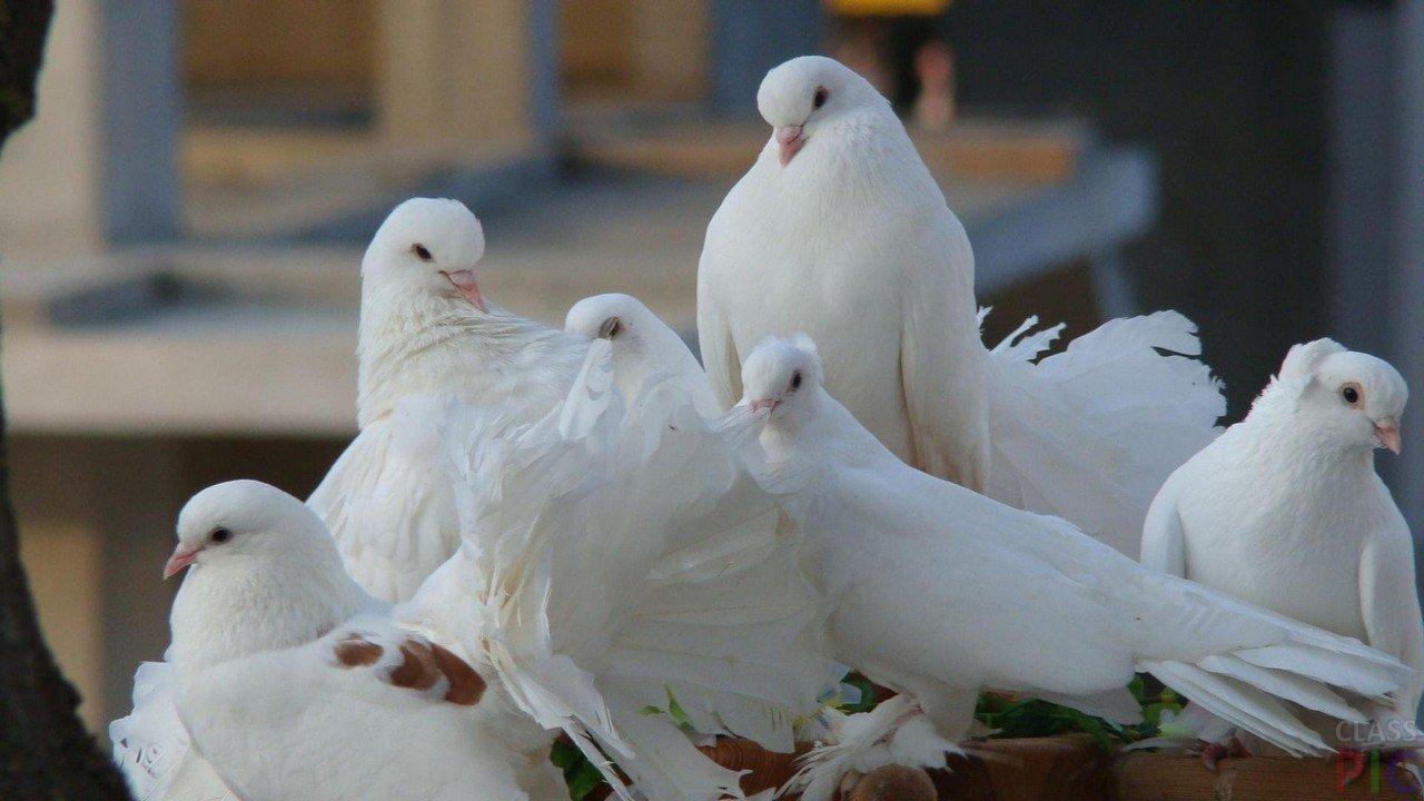 фото белой голубки успешно затестирована поездке