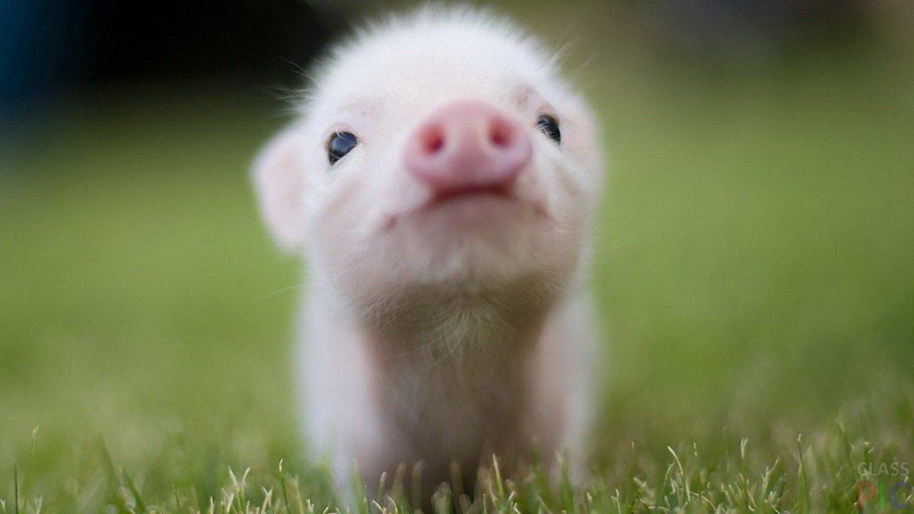 Свинья (25 фото)