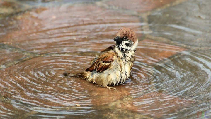 Мокрый воробей сидит в луже