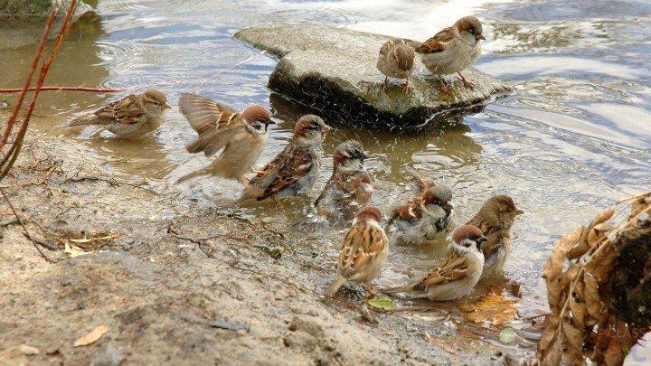 У воробьев коллективная баня