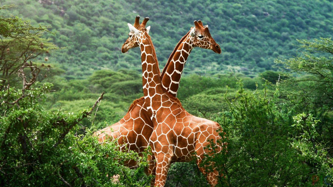 Жираф (28 фото)