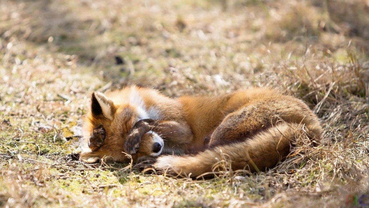 закваске фото спящих лисиц кабан коричневый глаз
