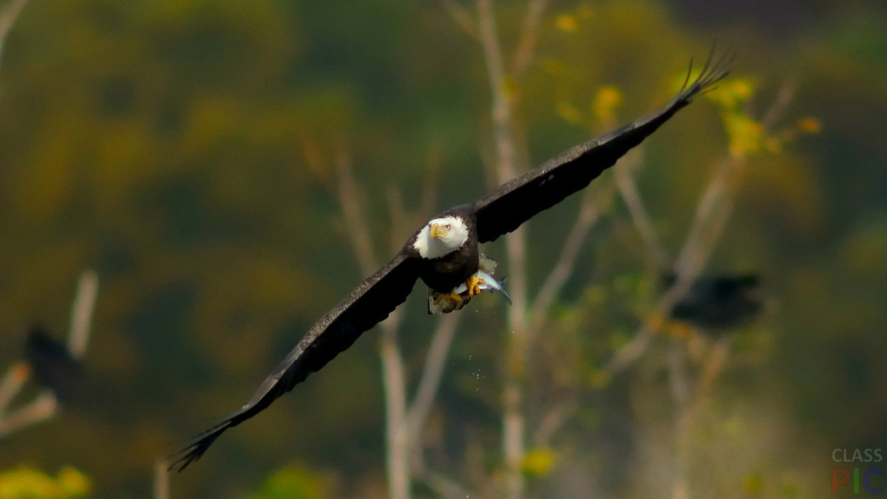 Обои крылья, Схватка, гриф. Лисы foto 7