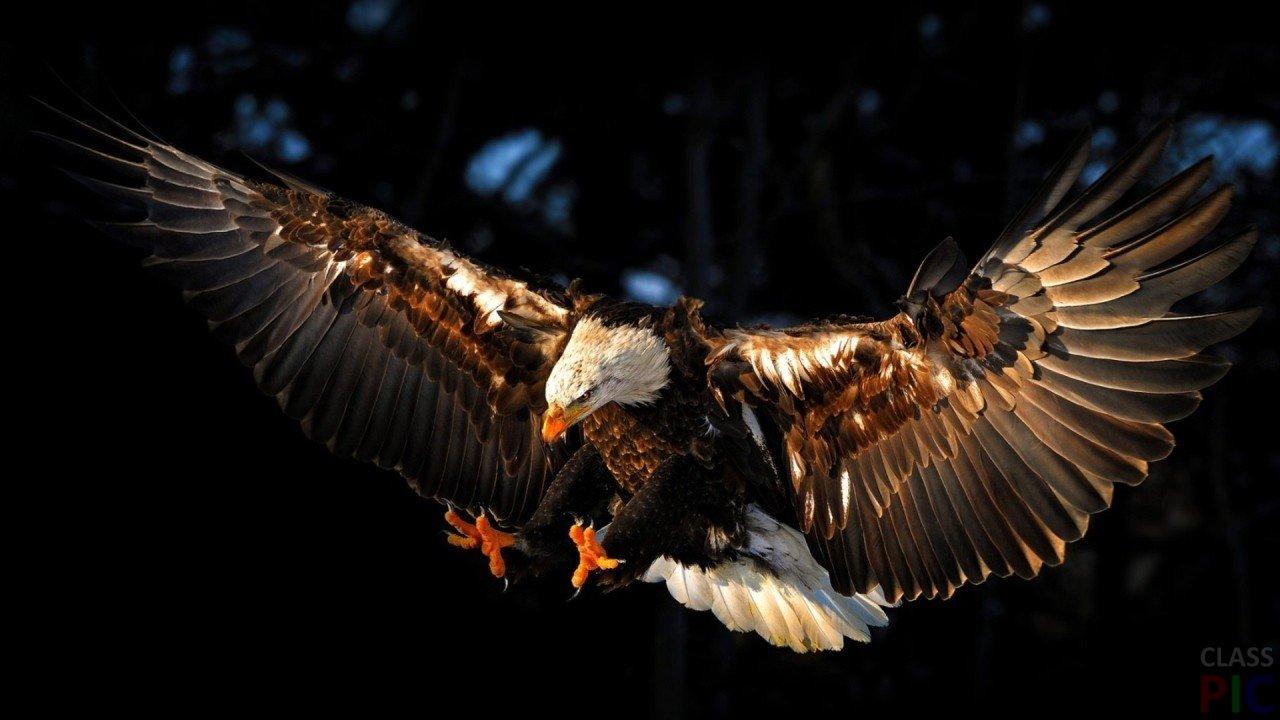 Обои крылья, Схватка, гриф. Лисы foto 16