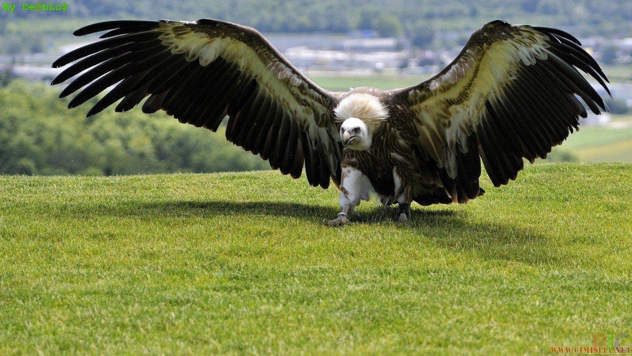Обои крылья, Схватка, гриф. Лисы foto 6