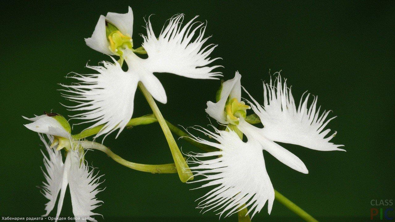 Орхидея (28 фото)