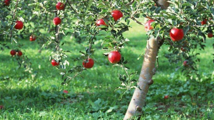 Яблоня с красными яблоками в солнечных лучах