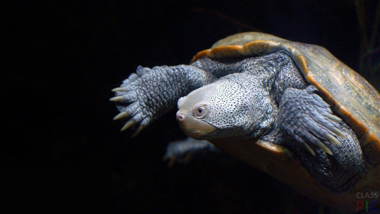 Черепаха (32  фото)