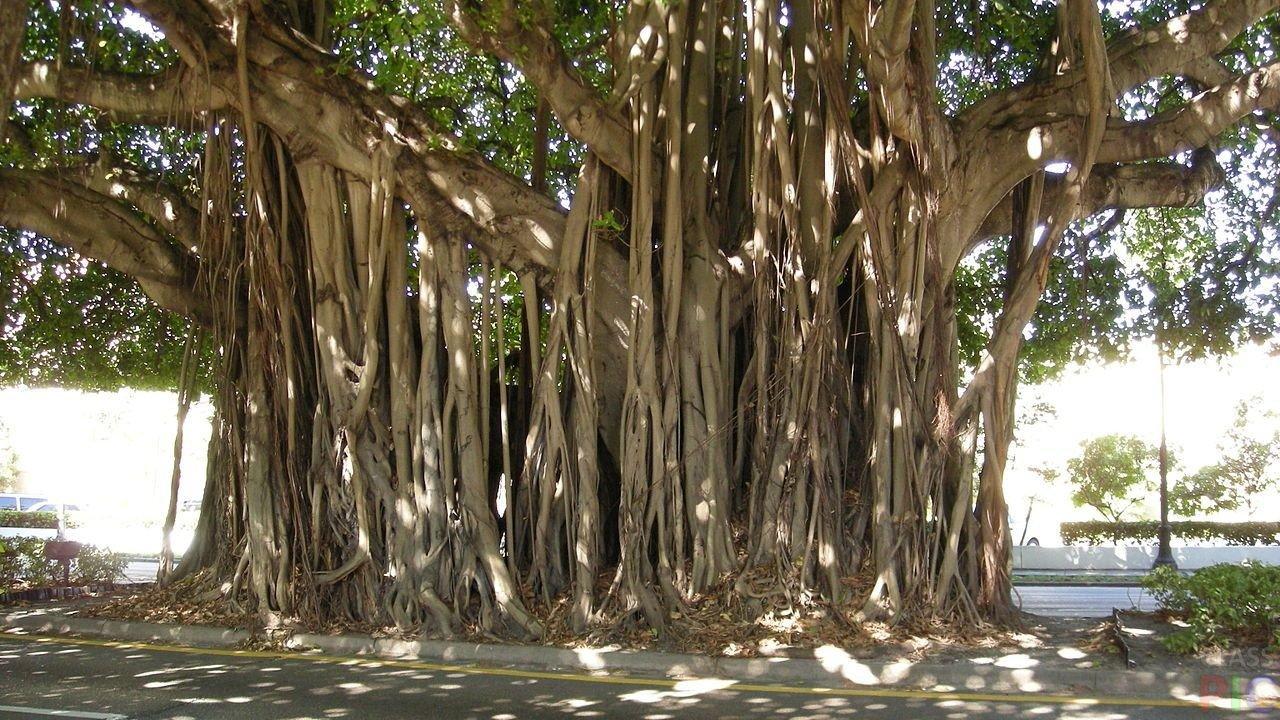 санрайз картинка фикуса с корнями представленные