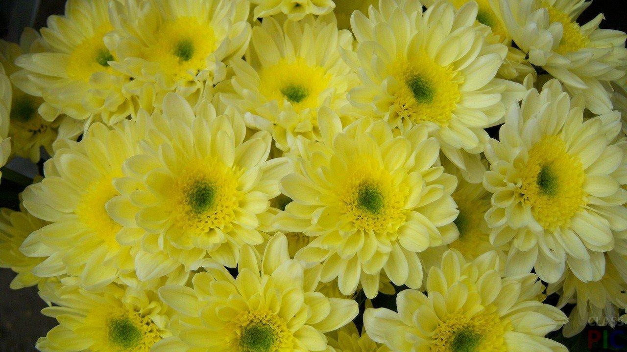 Хризантема (42 фото)