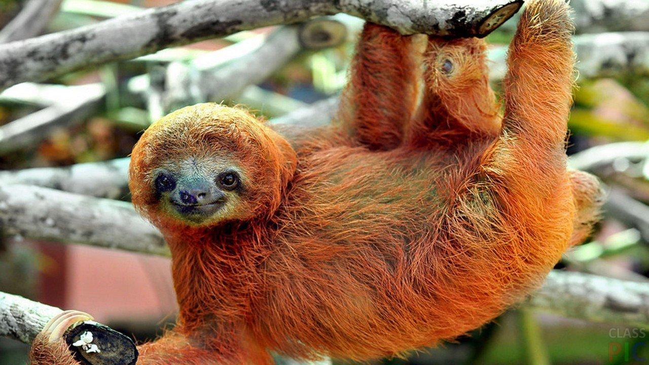 Ленивец (25 фото)
