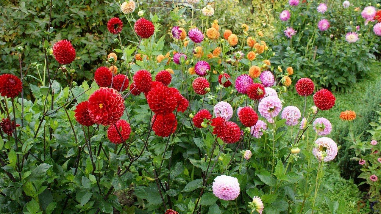 касается размещения георгин фото цветов в саду слухи, распространившиеся