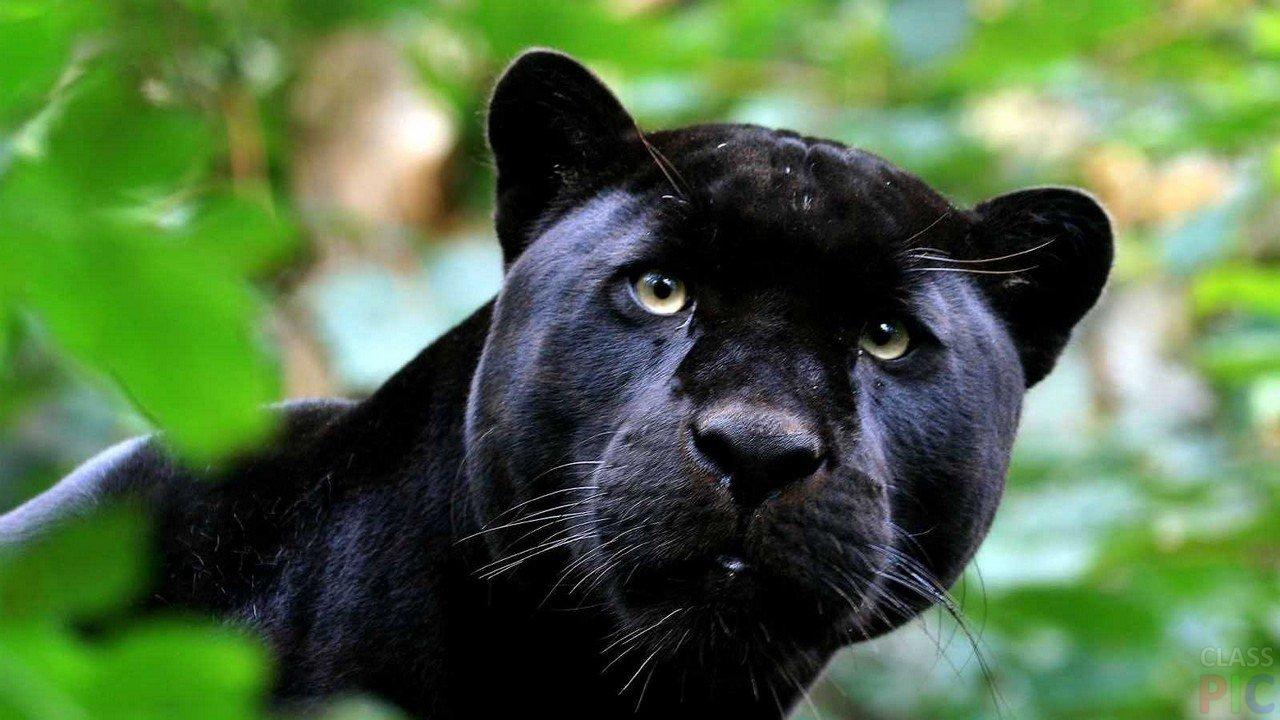 Пантера (22 фото)