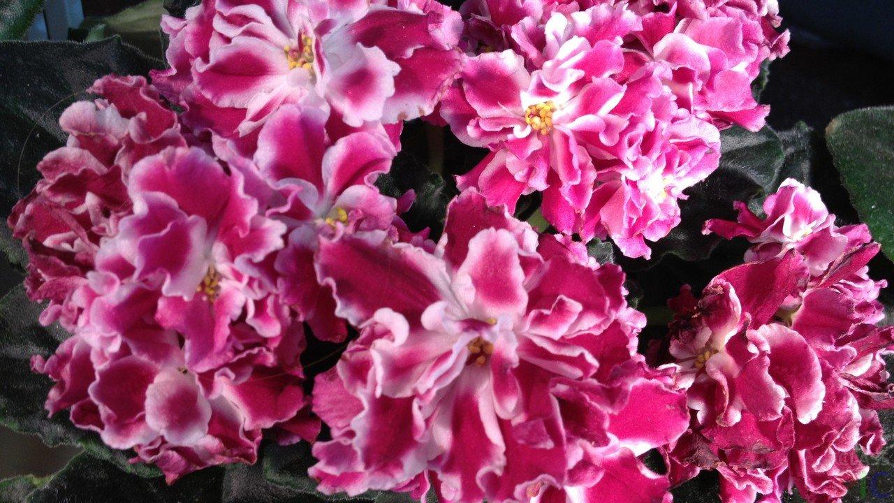 кувшинки розовый эффект фото фиалки минусов