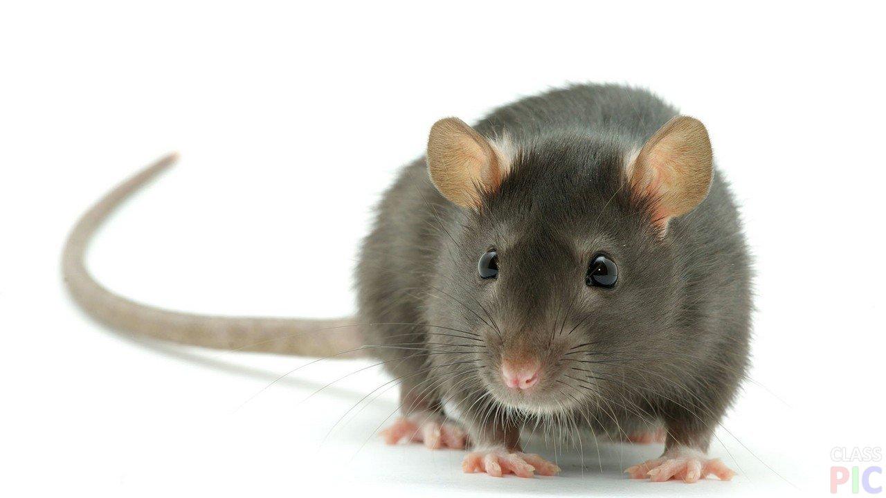 Крысы (23 фото)