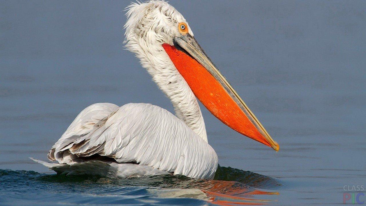 Пеликан (32 фото)