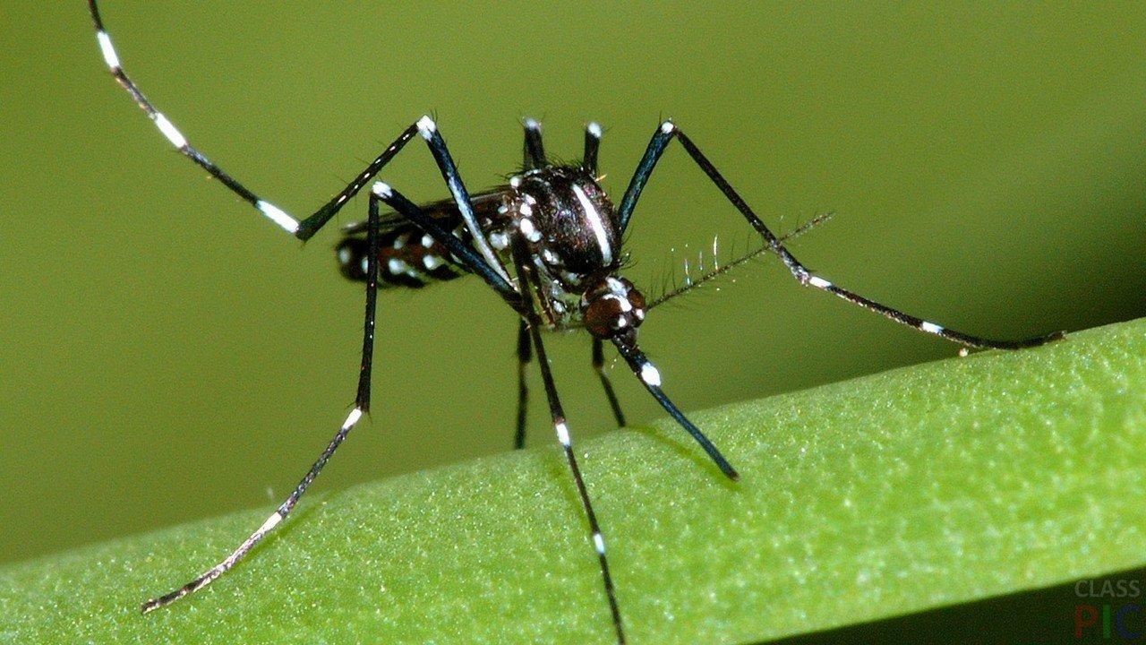 Комар (33 фото)