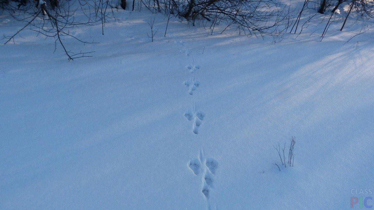 Следы белки на снегу фото
