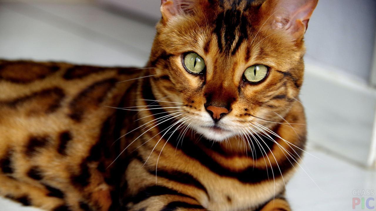Бенгальская кошка (34 фото)