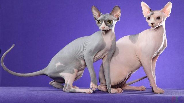 Кошки сфинкс (30 фото)