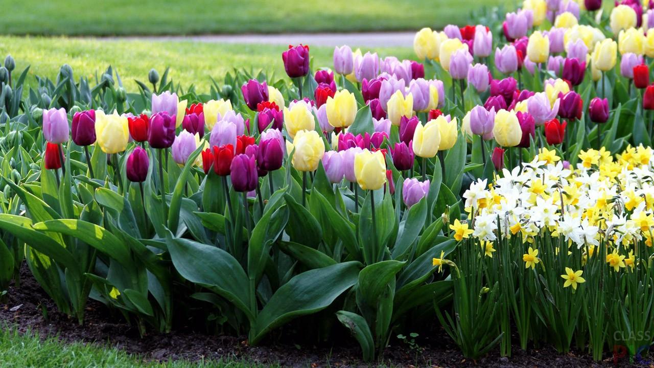 клумбы с тюльпанами и нарциссами фото манипуре чакре