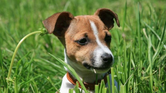 Jack Russell Fhoto 1