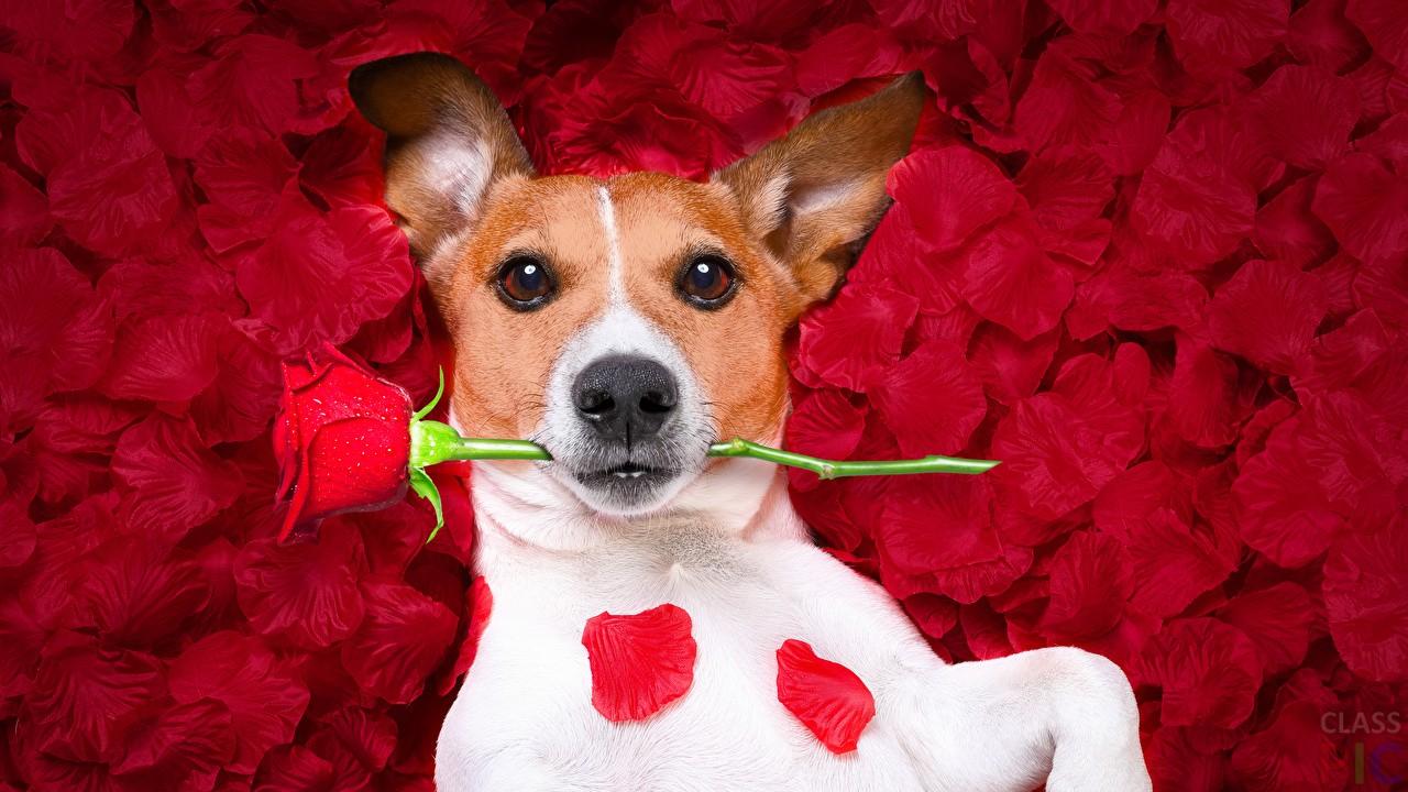 нашему картинка собачка с цветком в зубах сразу