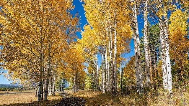 Берёза осенью (33 фото)