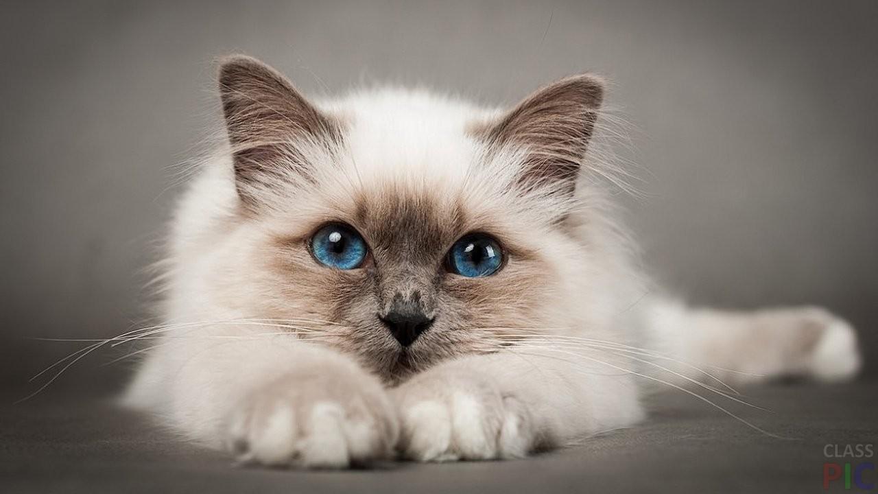 Породы кошек с названиями (37 фото)