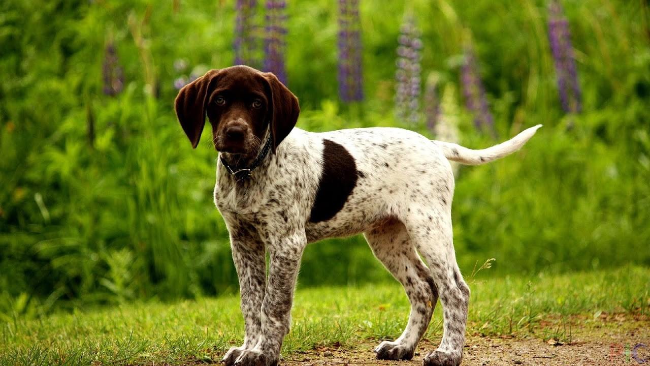 Породы охотничьих собак картинках