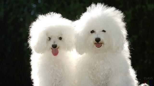 Белые собаки (33 фото)
