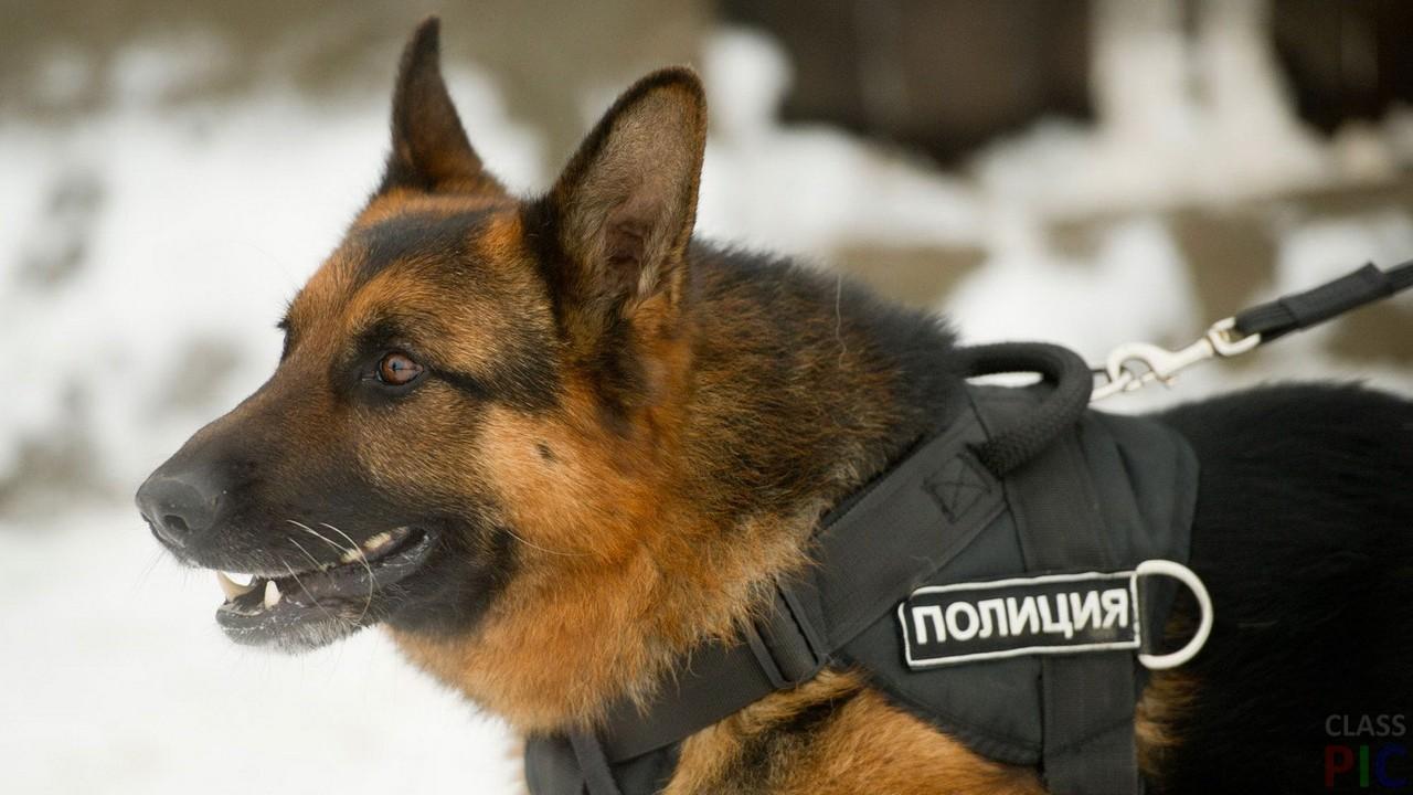 Служебные собаки (51 фото)
