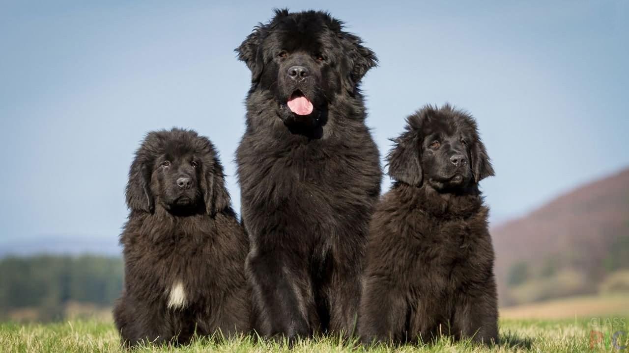 Чёрные собаки (31 фото)