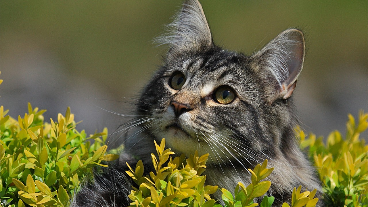 Сибирская кошка (39 фото)