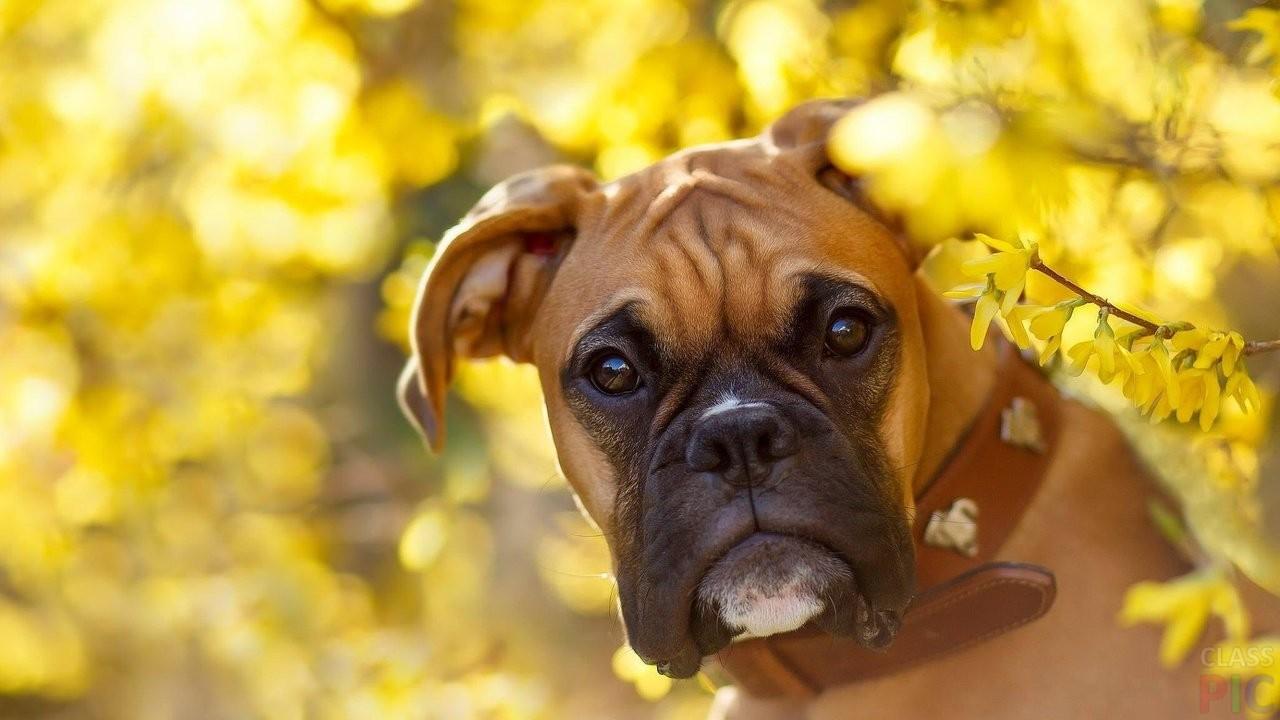 Собака боксёр (32 фото)