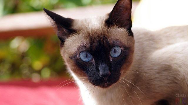 Сиамская кошка (38 фото)