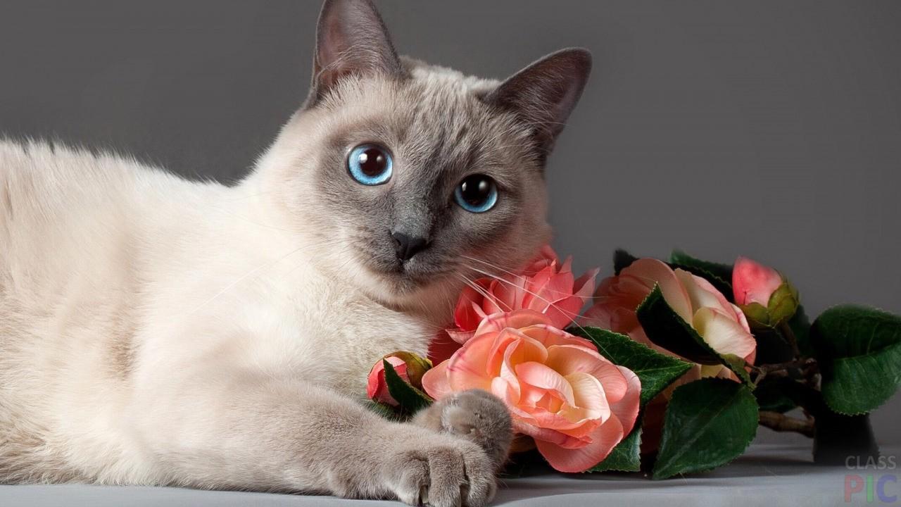 смешать, картинки кошек красивые сиамские кошки травянистого