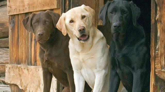 Сторожевые собаки (32 фото)